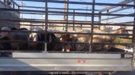 הכבשים הגנובות הושבו לבעליהן