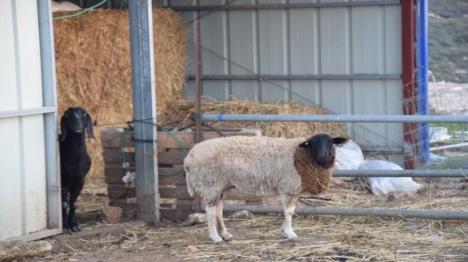 כבשים שנגנבו אותרו אצל סוחר מוכר