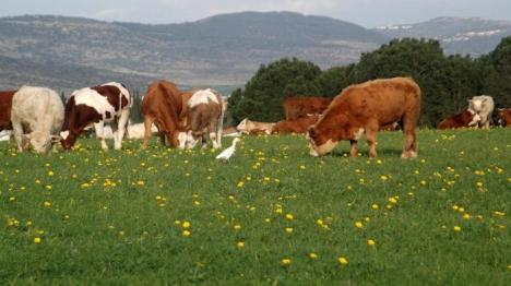 פרות. ארכיון